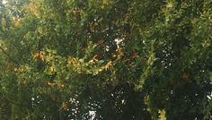 Gustav H og gruppe - Det er cool fordi det er naturen og det ser ud som om der er ild i bladene, fordi de har en guldig farve. Naturen er vigtig, da det giver os ilt, så vi kan leve.